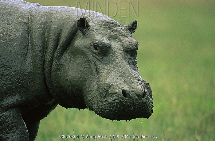 Hippopotamus (Hippopotamus amphibius) covered in mud Masai Mara, Kenya  -  Anup Shah/ npl