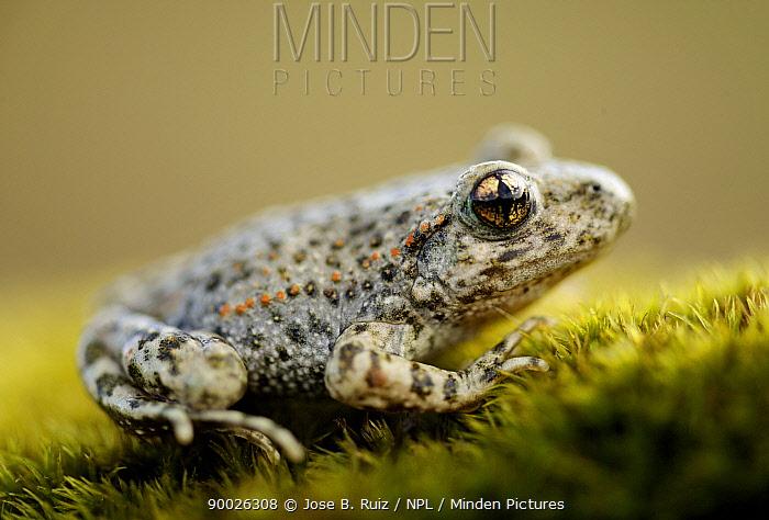 Iberian Midwife toad (Alytes cisternasii) Spain  -  Jose B. Ruiz/ npl
