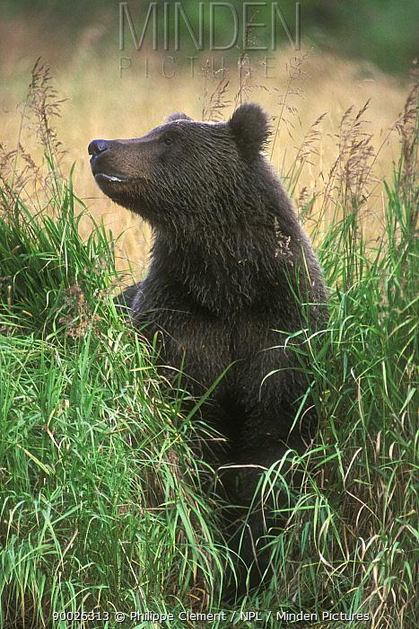 Kodiak Brown bear (Ursus arctos middendorfi) in tall grass, Kodiak Island, Alaska, USA  -  Philippe Clement/ npl