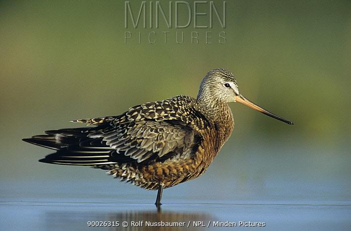 Hudsonian Godwit (Limosa haemastica) profile adult, Welder Wildlife Refuge, Sinton, Texas  -  Rolf Nussbaumer/ npl