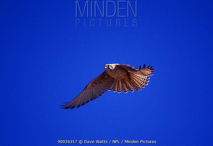 Brown Falcon, Hawk (Falco berigora) in flight, Northern Territory, Australia  -  Dave Watts/ npl