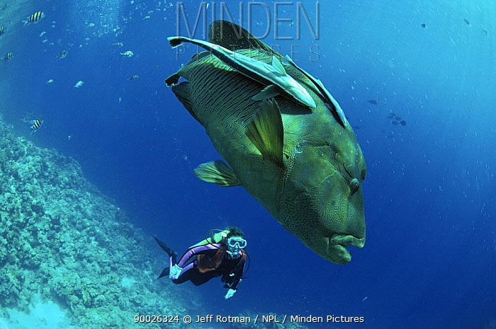 Double-headed Maori Wrasse (Cheilinus undulatus) with Pilot Fish (Naucrates ductor) observed by diver, Egypt, Red Sea  -  Jeff Rotman/ npl