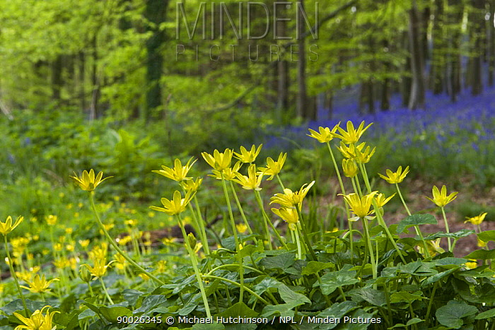Lesser Celandine (Ranunculus ficaria) in deciduous woodland clearing with Bluebells and stand of Beech trees in background,, North Somerset, United Kingdom  -  Michael Hutchinson/ npl