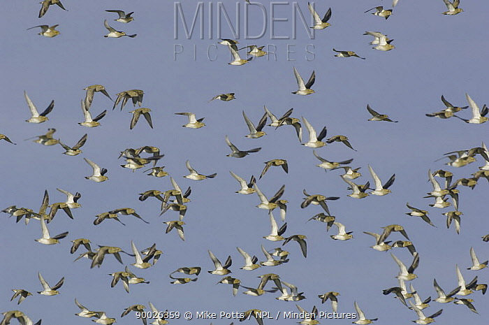 Golden Plover (Pluvialis apricaria) flock in flight, Dinas Dinlle, Gwynedd, North Wales, United Kingdom  -  Mike Potts/ npl