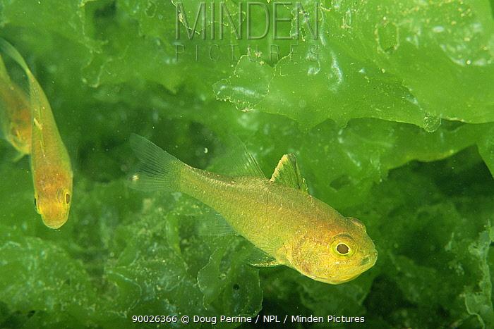 Flagfin cardinalfish (Apogon hoeveni) in bed of Sea lettuce (Ulva sp) Secret Bay, Bali, Indonesia  -  Doug Perrine/ npl