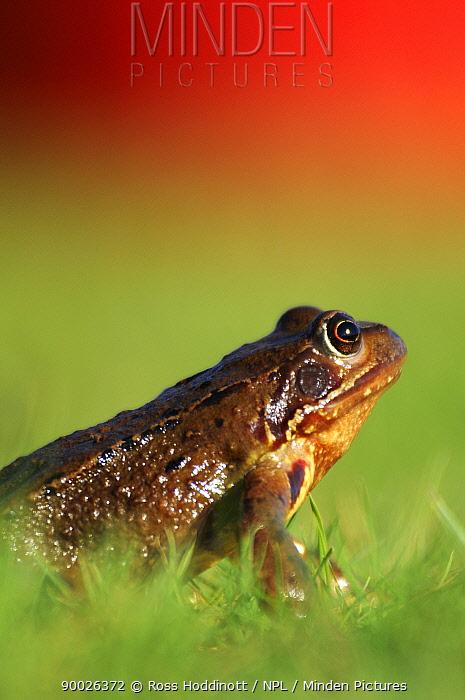 Common Frog (Rana temporaria) portrait Cornwall, United Kingdom  -  Ross Hoddinott/ npl
