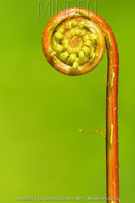 Deer Fern (Blechnum spicant) frond uncurling, Cornwall, United Kingdom  -  Ross Hoddinott/ npl