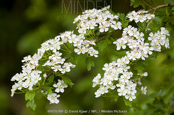 Singleseed Hawthorn (Crataegus monogyna) in flower, Wiltshire, United Kingdom  -  David Kjaer/ npl