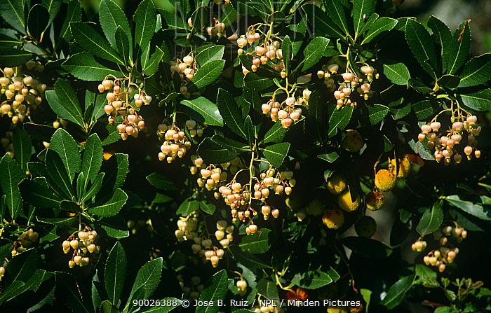 Strawberry Tree (Arbutus unedo) with flowers and fruit, Spain  -  Jose B. Ruiz/ npl