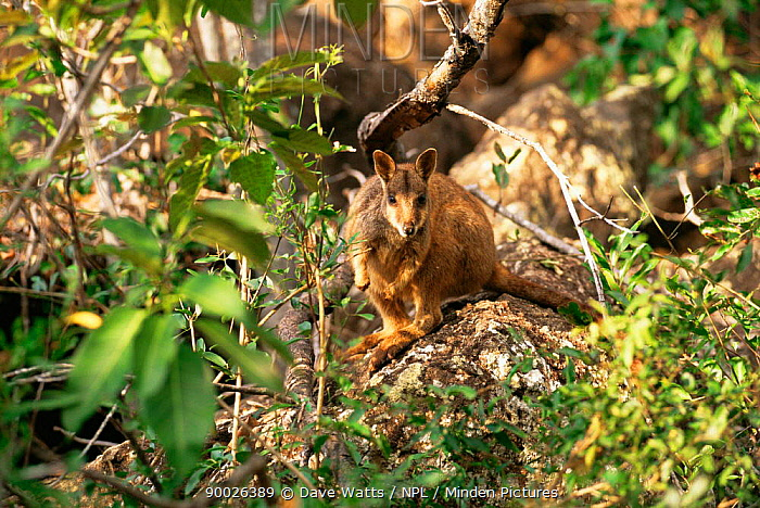 Allied Rock Wallaby (Petrogale assimilis) Queensland, Australia  -  Dave Watts/ npl
