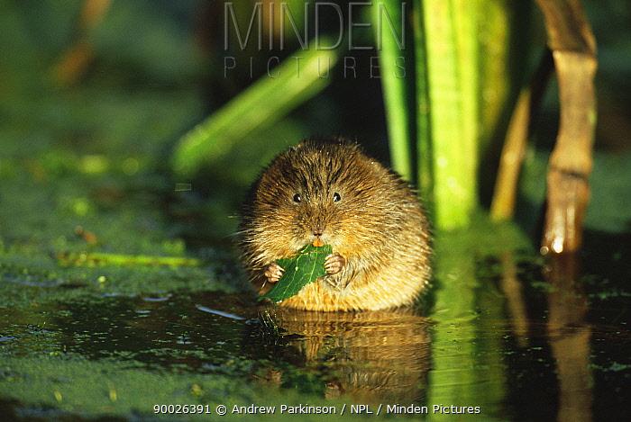 Water Vole (Arvicola terrestris) feeding Cromford canal, Derbyshire  -  Andrew Parkinson/ npl