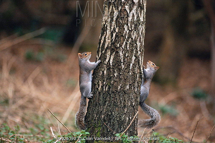 Eastern Gray Squirrel (Sciurus carolinensis) climbing tree trunk United Kingdom  -  Colin Varndell/ npl