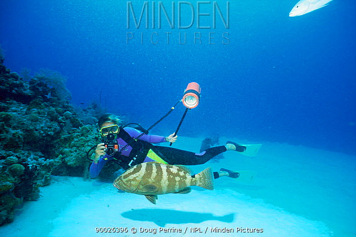 Diver photographing Nassau grouper (Epinephelus striatus) Cayman Is, Caribbean  -  Doug Perrine/ npl