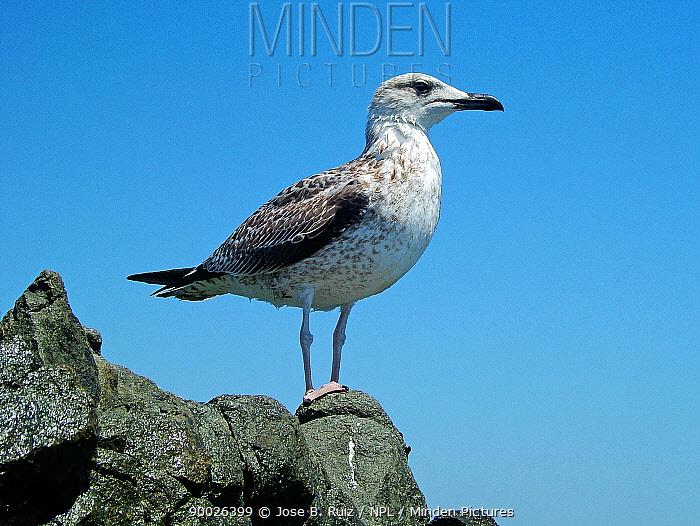 Yellow-legged Gull (Larus cachinnans) juvenile, Spain  -  Jose B. Ruiz/ npl