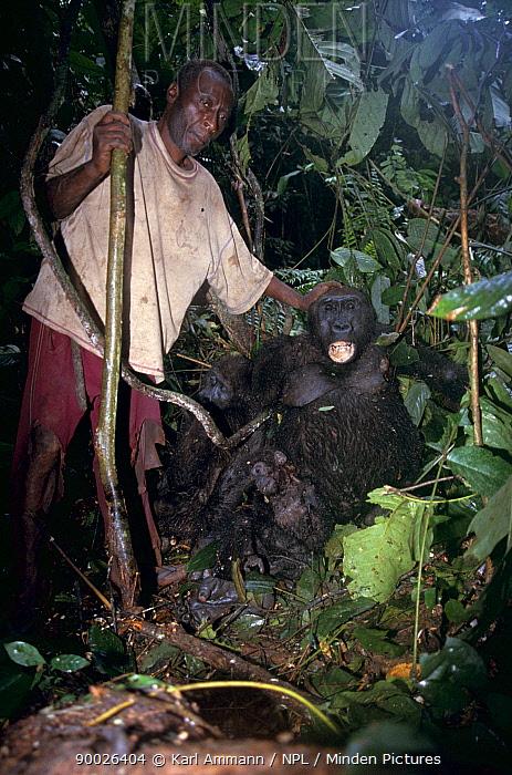 Western Lowland Gorilla (Gorilla gorilla gorilla) family, shot for bushmeat, Central Africa  -  Karl Ammann/ npl