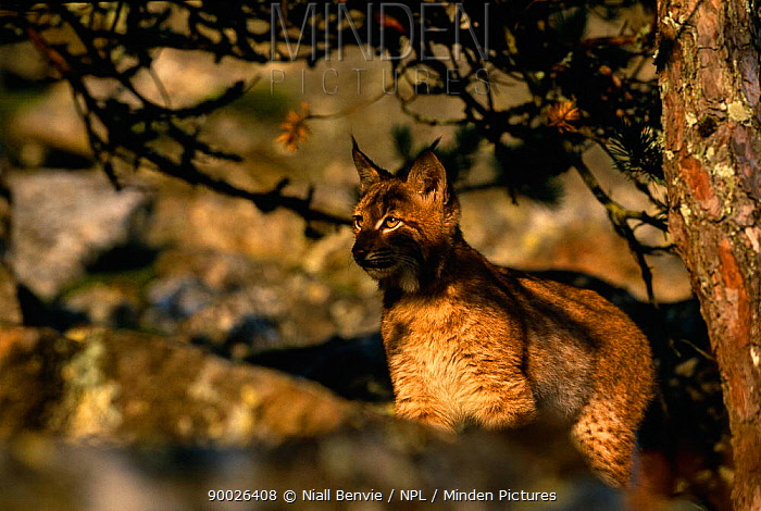 Eurasian Lynx (Lynx lynx) young male camouflaged against rocks, Sumava National Park, Bohemia, Czech Republic  -  Niall Benvie/ npl