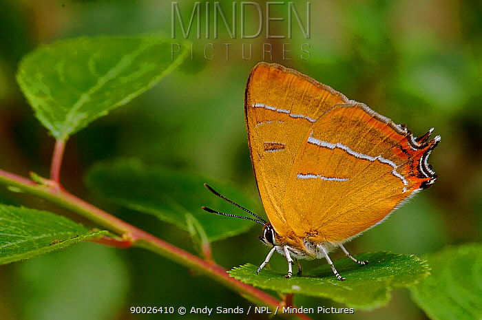 Brown Hairstreak (Thecla betulae) sitting on Backthorn leaf with wings closed, Captive, United Kingdom  -  Andy Sands/ npl