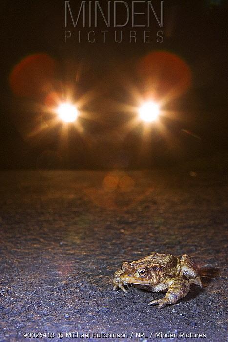 European Toad (Bufo bufo) on road with car headlights, Somerset, United Kingdom  -  Michael Hutchinson/ npl