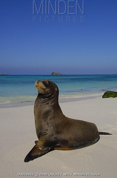 Galapagos sealion (Zalophus californianus wollebaeki) on beach Gardner Bay, Espa�ola, Hood Is, Galapagos  -  Pete Oxford/ npl