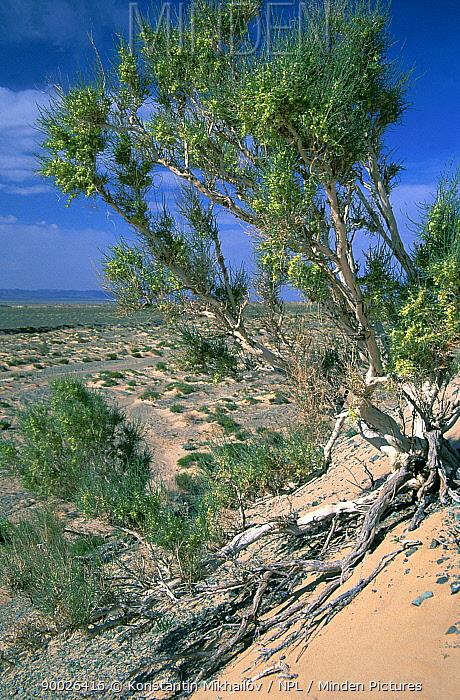 Saxaul bush growing in the Gobi desert, Mongolia  -  Konstantin Mikhailov/ npl