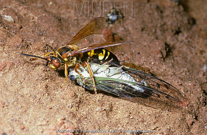 Cicada Killer Wasp (Sphecius speciosus) female dragging her Cicada prey (Tibicen similaris) back to her burrow while a (Miltogramma sp) female parasitic fly lays eggs on the Cicada, South Carolina  -  Premaphotos/ npl