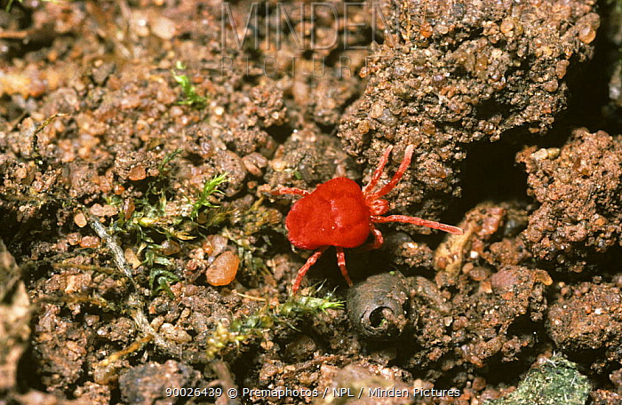 Velvet Mite (Trombidium sp) in a garden, United Kingdom  -  Premaphotos/ npl