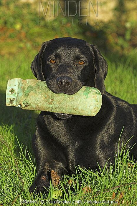 Black Labrador, lying with training dummy in mouth, UK  -  Colin Seddon/ npl