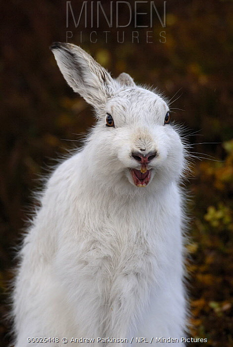 Mountain Hare (Lepus timidus) adult stretching and yawning on moorland, conspicuous in white winter coat, Monadhliath Mountains, Scotland United Kingdom  -  Andrew Parkinson/ npl
