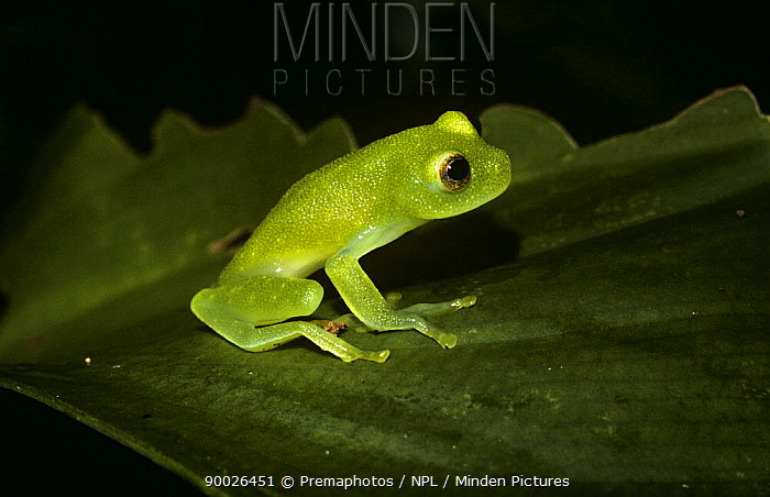 Northern Glassfrog (Hyalinobatrachium fleischmanni) in daytime resting pose in cloud forest, Panama  -  Premaphotos/ npl