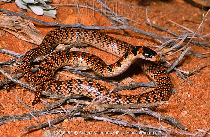 Narrow banded shovel nosed snake (Brachyurophis fasciolatus fasciatus) male, a rare burrowing species, South Australia  -  Robert Valentic/ npl