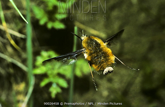 Greater Bee Fly (Bombylius major) female hovering while she drops eggs into a solitary bee's nest entrance, United Kingdom  -  Premaphotos/ npl