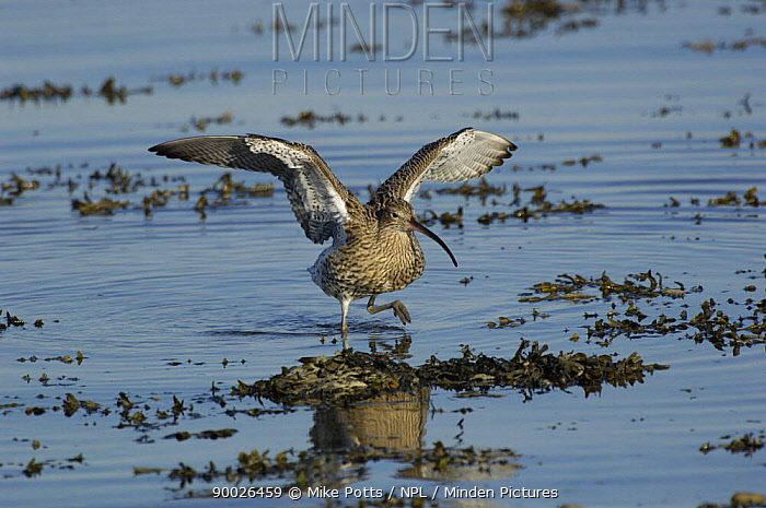 Eurasian Curlew (Numenius arquata) wading through water to feed at high tide, Menai Straits, Gwynedd, North Wales, United Kingdom  -  Mike Potts/ npl