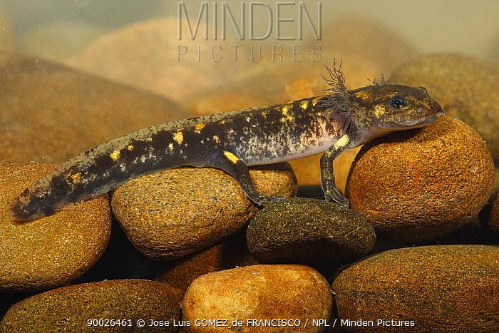 Fire Salamander (Salamandra salamandra) larva, Picos de Europa National Park, Spain  -  Jose Luis Gomez De Francisco/ np