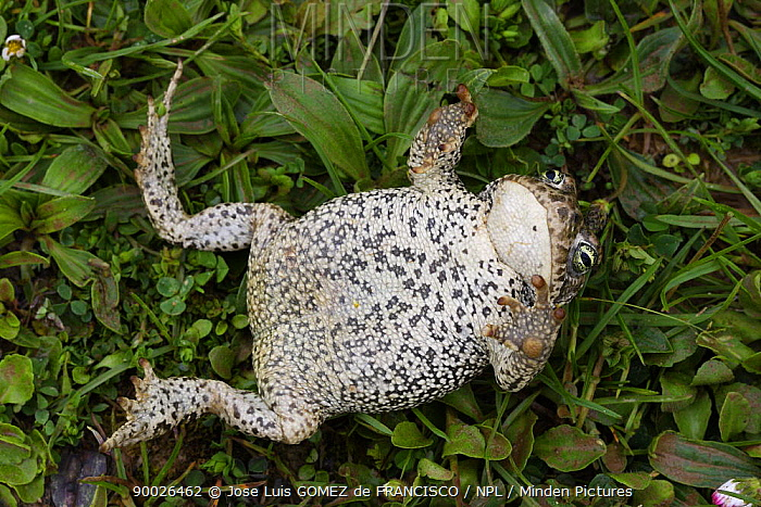 Natterjack Toad (Bufo calamita) on its back showing underside, Spain  -  Jose Luis Gomez De Francisco/ np