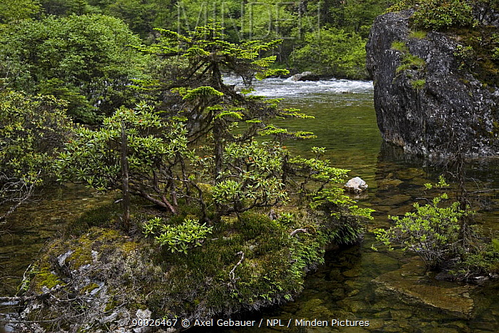 River with fir trees (Abies delavayi) and Rhododendron bushes, Mugetso Lake region, Sichuan Province, China Southeast China mountains biodiversity hotspot  -  Dr. Axel Gebauer/ npl