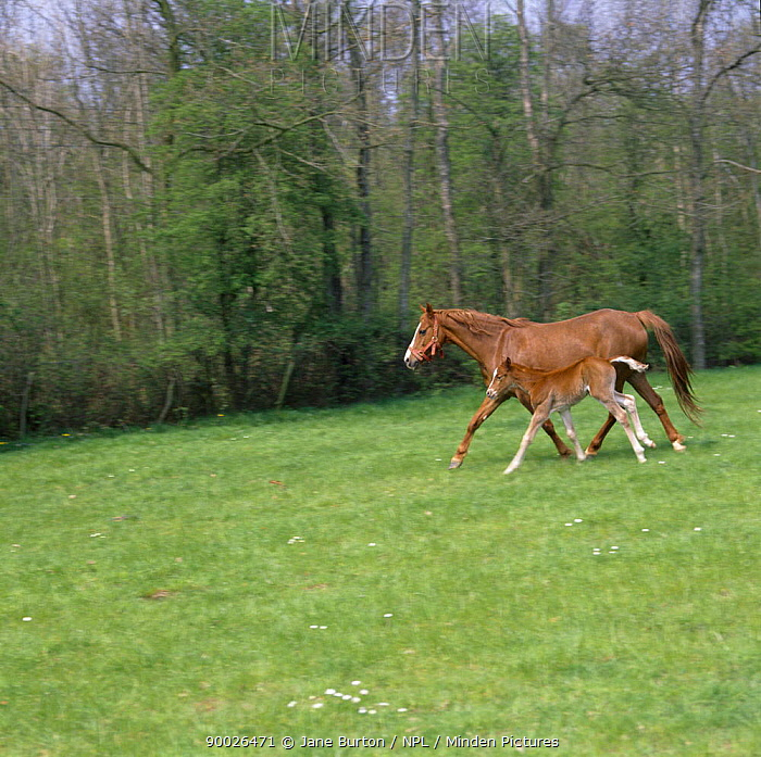 Domestic horse, chestnut British show pony mare and foal, mare trotting and foal cantering to keep up, UK  -  Jane Burton/ npl