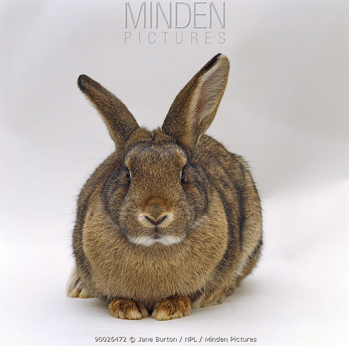 Agouti rabbit  -  Jane Burton/ npl