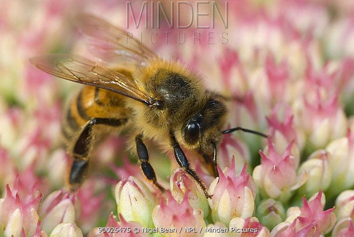 Honey Bee (Apis mellifera) feeding on flowers of (Sedum spectabile) in garden, United Kingdom  -  Nigel Bean/ npl