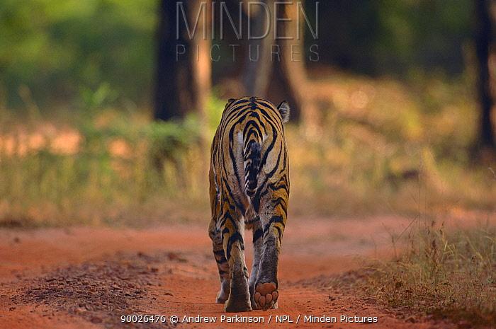 Bengal Tiger (Panthera tigris tigris) rear view adult female walking along forest track Bandhavgarh National Park, Madhya Pradesh, India  -  Andrew Parkinson/ npl