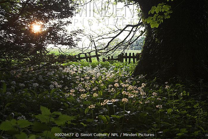 Wild Garlic (Allium ursinum) carpeting deciduous woodland, Somerset, United Kingdom  -  Simon Colmer/ npl