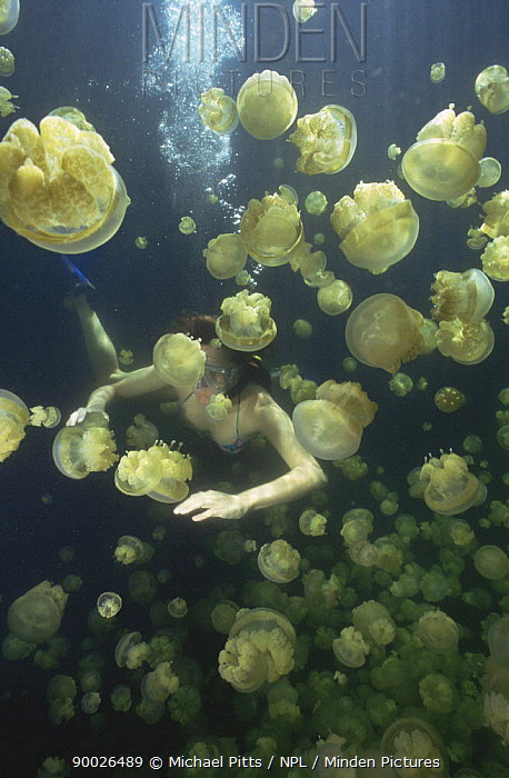 Jellyfish (Mastigias sp) with diver Palau  -  Michael Pitts/ npl