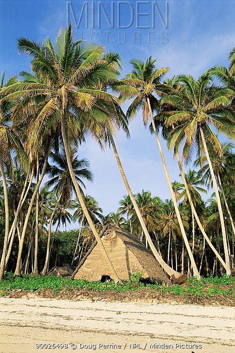 Traditional hut amongst coconut palm trees, Tobi Island, Palau, Micronesia  -  Doug Perrine/ npl