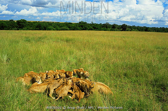 African Lion (Panthera leo) lionesses with cubs feeding at kill, Masai Mara reserve, Kenya  -  Anup Shah/ npl