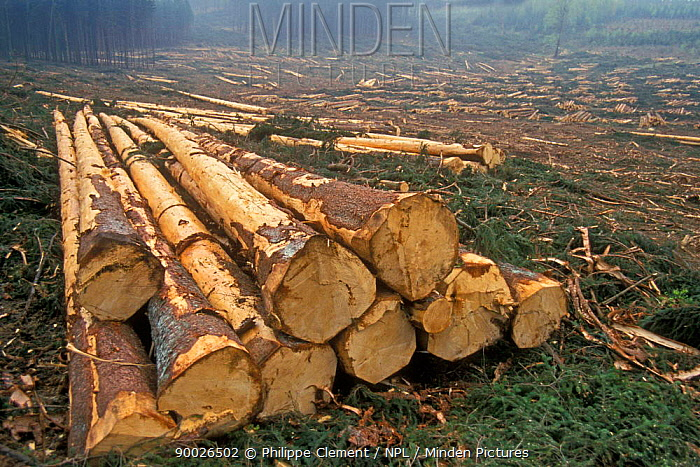 Cut timber waiting for transport, Ardennes, Belgium  -  Philippe Clement/ npl