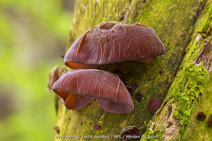 Close-up of Jelly Ear, Jews's Ear fungus (Auricularia auricula judae) on Elder in woodland, UK  -  Jason Smalley/ npl