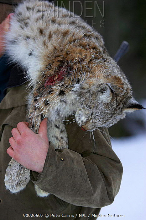 Norwegian hunter with recently shot lynx as part of government quota system, Nord-Trondelag, Norway  -  Pete Cairns/ npl
