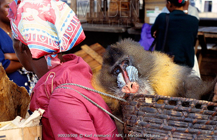 Dead Male mandrill (Mandrillus sphinx) in shopping basket, hunted and sold for bush meat, Central Africa  -  Karl Ammann/ npl