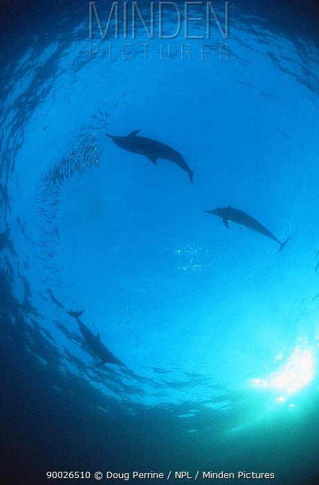 Common Dolphin (Delphinus delphis) feeding on sardines (Sardinops sagax) during annual Sardine Run, South Africa  -  Doug Perrine/ npl
