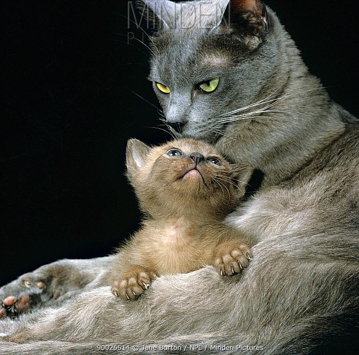 Domestic Cat (Felis catus) 1-month, Burmese kitten with his Blue mother  -  Jane Burton/ npl