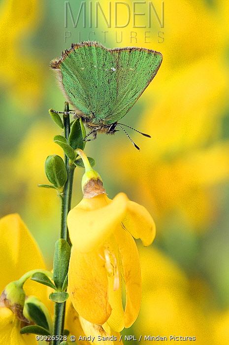 Green Hairstreak (Callophrys rubi) at rest on Broom United Kingdom  -  Andy Sands/ npl